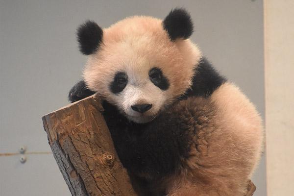 Adorable baby panda creates pandemonium in Tokyo